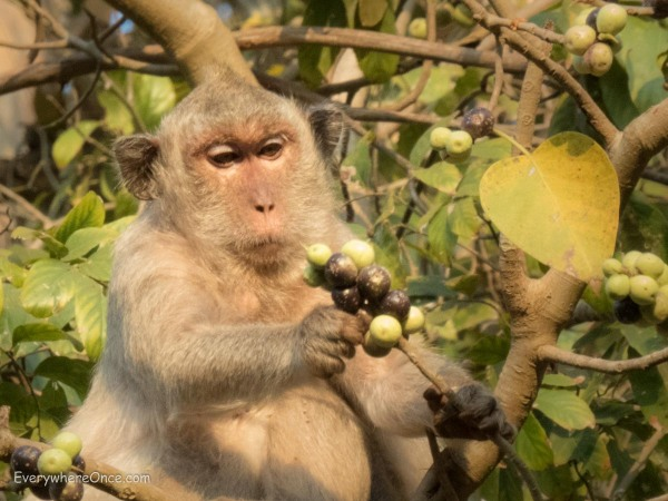 Macaque eating fruit at Angkor Wat