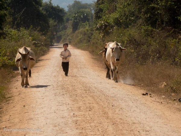 Boy with cattle in Cambodia