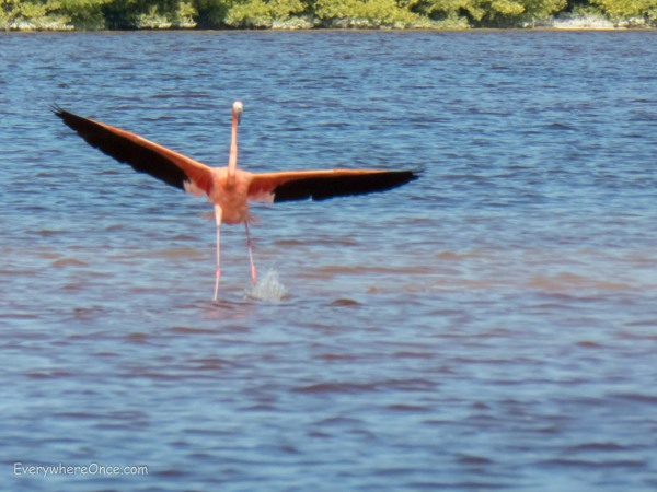 Flying Flamingo, Celestun, Mexico